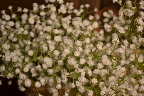 Paniculata 2